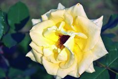 Yellow Rose Flower in the Garden. Close Up Yellow Rose Flower in the Garden Stock Image