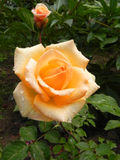 Yellow rose in a flower garden. Royalty Free Stock Photography