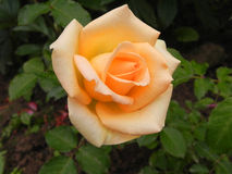 Yellow rose in a flower garden. Royalty Free Stock Image