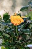 Yellow rose flower, green branch plant, dark green leaves backgr Stock Photography