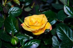 Yellow rose flower, green branch plant, dark green leaves backgr Royalty Free Stock Images