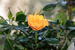 Yellow rose flower, green branch plant, dark green leaves backgr Royalty Free Stock Photo