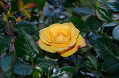Yellow rose flower, green branch plant, dark green leaves background Royalty Free Stock Photo