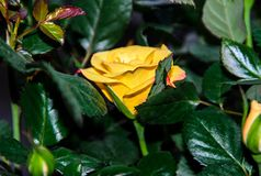 Yellow rose flower, green branch plant, dark green leaves background Royalty Free Stock Photography