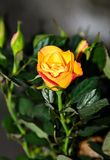 Yellow rose flower, green branch plant, dark green leaves backgrond Stock Photography
