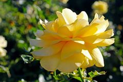 Yellow rose flower at Inez Grant Parker Memorial Rose Garden. The Inez Grant Parker Memorial Rose Garden at Balboa Park, San Diego, California, USA are full of Royalty Free Stock Photography