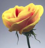 Yellow rose. Flower leaves fresh Stock Photo