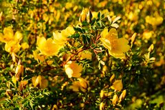Wild yellow rose flower lit by the sun at sunset. Yellow rose flower lit by the sun at sunset. Wild rose with leaves on a background of mountains stock images