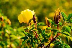 Wild yellow rose flower lit by the sun at sunset. Yellow rose flower lit by the sun at sunset. Wild rose with leaves on a background of mountains royalty free stock photo