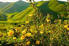 Wild yellow rose flower lit by the sun at sunset. Yellow rose flower lit by the sun at sunset. Wild rose with leaves on a background of mountains stock photos