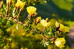 Wild yellow rose flower lit by the sun at sunset. Yellow rose flower lit by the sun at sunset. Wild rose with leaves on a background of mountains stock photography