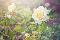 Yellow rose flower with morning light effect in the garden Royalty Free Stock Image