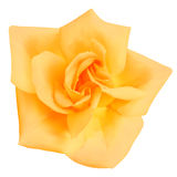 Yellow Rose flower. Royalty Free Stock Photo
