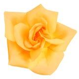 Yellow Rose flower. vector illustration