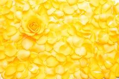 Yellow rose flower Stock Photos