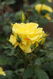 Yellow rose flower plant Royalty Free Stock Photo