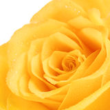 Yellow Rose Flower Stock Images