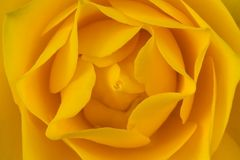 Yellow rose flower Royalty Free Stock Image
