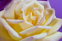 Yellow rose. Flowers art design. holiday card Stock Image