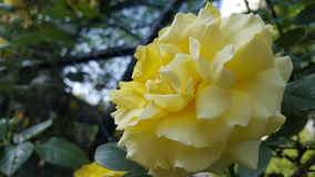 Yellow rose. Flowers beuty nature stock photos