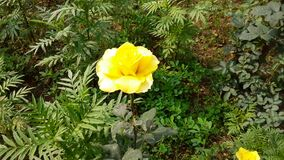 Yellow rose flowers are blooming on the plant.
