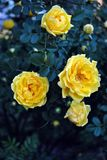 Yellow rose flowers and buds blooming on bush, dark green leaves. Background stock photo