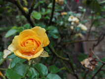 Yellow rose. Flowers in the garden Stock Photography