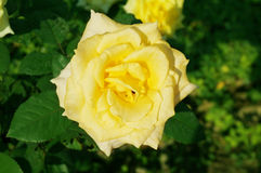 Yellow rose flowers and green leaves Royalty Free Stock Photos