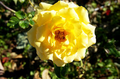 Yellow rose flowers and green leaves Royalty Free Stock Images