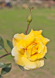 Yellow rose flowr. Closeup shot of yellow rose flower with blur background Royalty Free Stock Images