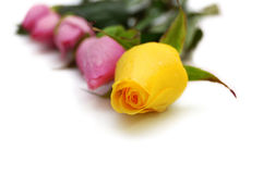Yellow rose on focus and four pink roses. At background Royalty Free Stock Images