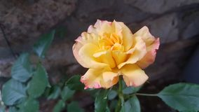 Yellow rose in front od stone wall royalty free stock photos