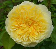 Yellow Rose in full bloom. A yellow Rose flower in full summer bloom, with pale yellow at the edge and deep, bight yellow in the centre. A good  Austin rose Stock Images