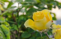 yellow rose in garden royalty free stock photos