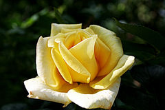 Yellow rose. In the garden in the evening Royalty Free Stock Photos