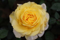 Yellow Rose in Garden. Natural pretty yellow rose flower in Garden with green leaf. This beautiful famous flower is easy to grow. It is the most popular flower Royalty Free Stock Image