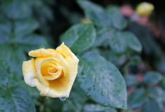 Yellow rose in the garden - floral background Stock Images