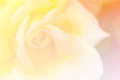 Yellow rose in the garden, selective focus, vintage tone, gradient. Romantic yellow rose in the garden, selective focus, vintage tone, gradient filter Royalty Free Stock Image