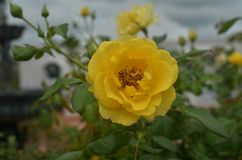 Yellow rose Single Royalty Free Stock Photo