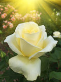 Yellow rose in the garden with sun rays Stock Photo