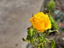 Yellow rose. Garden yellow tea rose for not caring stock photos