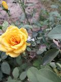 Yellow rose in garden stock photo