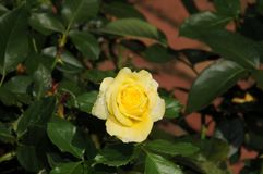 Yellow rose in a garden stock photography
