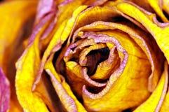 Yellow Rose - gelbe Rose. Detail of yellow Rose - detail einer gelben Rose stock photography
