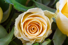 Yellow rose with green background Royalty Free Stock Photos
