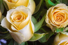 Yellow rose with green background Royalty Free Stock Images