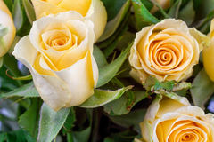Yellow rose with green background Stock Photos