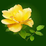 Yellow rose on a green background. With a stem and leaves Royalty Free Stock Images