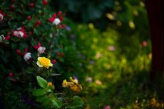 Yellow rose in a green bush stock photography