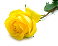Yellow rose with green leaves. Isolation on white background. Shallow DOF Royalty Free Stock Photos